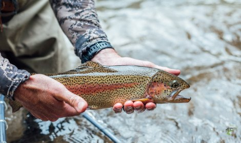 Types of Trout - Rainbow Trout in Anglers Hands