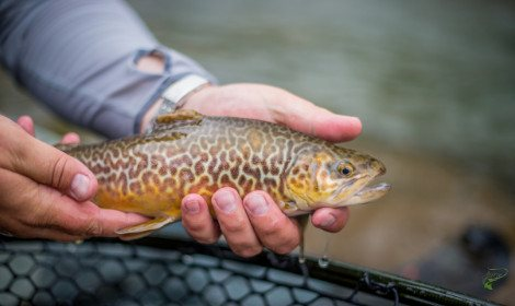 Types of Trout - Tiger Trout in Anglers Hands