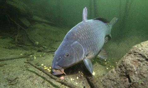 Carp Spawning - Carp Feeding on Bottom