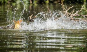 carp-spawning-carp-splashing-in-shallows