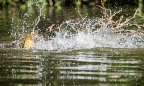 Carp Spawning - Carp Splashing in shallows