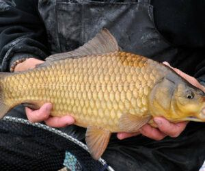 F1 Carp – How to Identify and Catch Them?