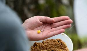 feeder-fishing-for-carp-sweetcorn-on-fishing-hook
