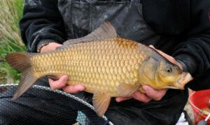 what-does-a-carp-look-like-man-holding-f1-carp