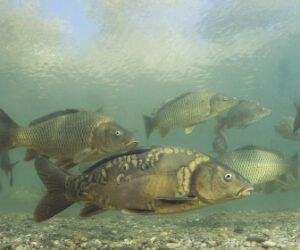 What Does a Carp Look Like? – Carp Identification