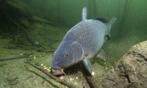 grass-carp-vs-common-carp-carp-feeding-on-bottom