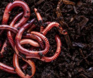 Do Carp Eat Worms? – Method, Tips & Tricks