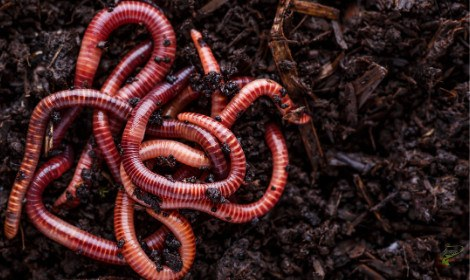 Do Carp Eat Worms - worms in soil