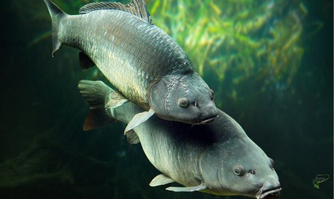Do Carp Feed When Spawning - Carp Spawning Underwater