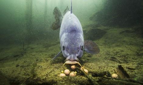 Do Carp Eat other Fish - carp feeding on boilies on bottom