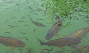 do-carp-eat-other-fish-carp-swimming-among-small-fish