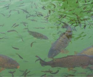 Do Carp Eat Other Fish? – Full Explanation