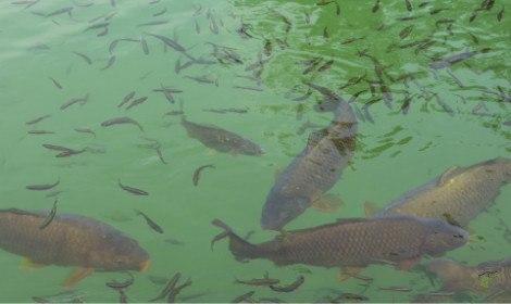 Do Carp Eat Other Fish  - Carp Swimming among small fish
