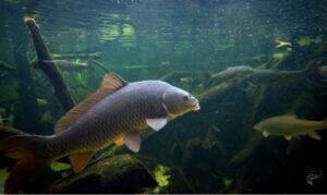 when-are-carp-most-active-active-carp-underwater