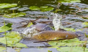 when-are-carp-most-active-carp-spawning-in-lily-pads
