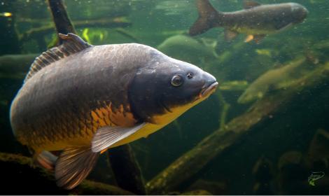 When do carp stop feeding in winter - Close up of carp underwater